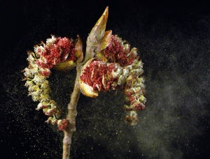 Cottonwood releasing damning pollen