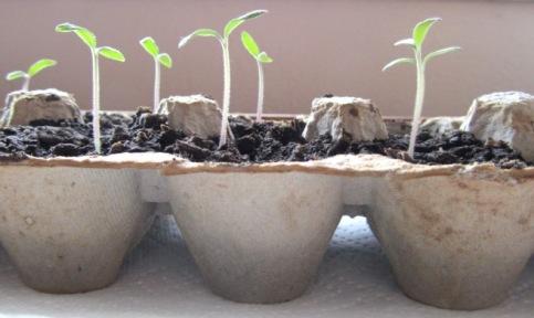 Egg Carton Seedlings