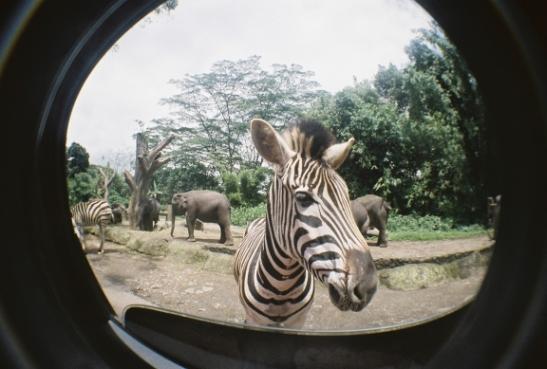 zoo pictures zebras