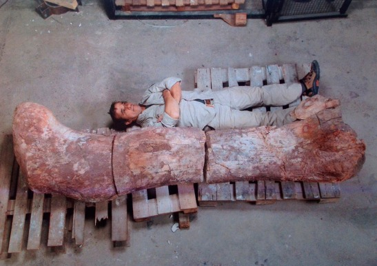 A technician lies next to the femur of a dinosaur at the Egidio Feruglio Museum in Trelew.