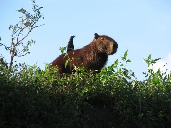 Animals Sitting on Capybaras