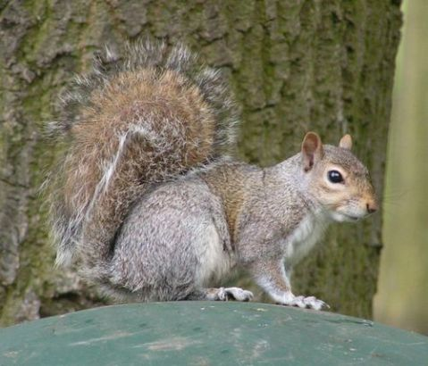 699px-Eastern_Gray_Squirrel_800