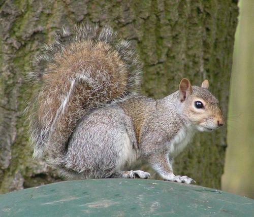 699px-Eastern_Gray_Squirrel_800